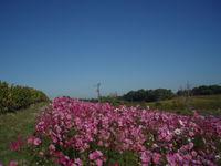 Cosmos flowers near bergerac