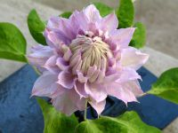Clematis 'belle of Woking'