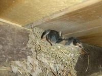 Swallows in the nest