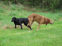 dogs mating 'tie-in'