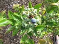 blueberry bush with ripe fruit for sale