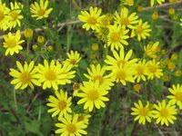 how to identify ragwort senecio jacobea