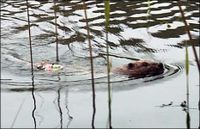 European beavers introduced to scotland