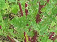 senecio jacobea rosette