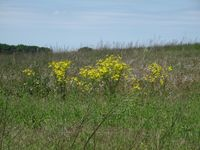 Ragwort growing in a setaside field