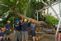 Cycad being lifted at kew gardens