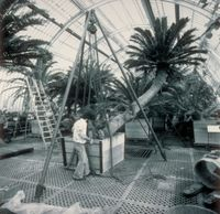 Kew cycad being moved and re-potted in 1984