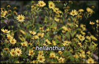 Helianthus_small