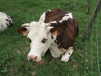 a cow in france