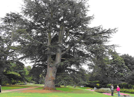 Duke of Wellington cedar at Kingston Lacy