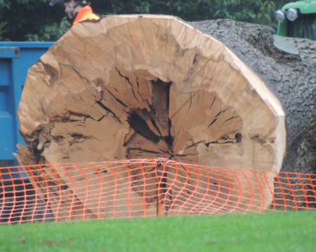 Trunk of Duke of Wellington felled cedar at Kingston Lacy