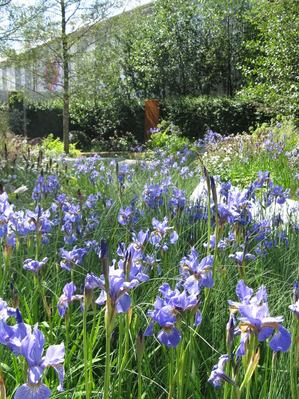 081 More blue irises from Hugo Bugg's RBC Waterscape Garden