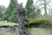 200-year-old-oak-tree-damage-from-st-valentines-day-storm-stourhead