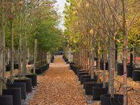 Trees for Garden Bridge
