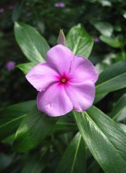 Catharanthus_roseus