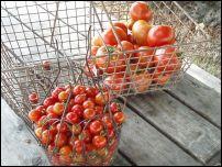 Harvesting_tomatoes
