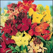 Tips_on_planting_wallflowers