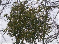 Mistletoe at christmas
